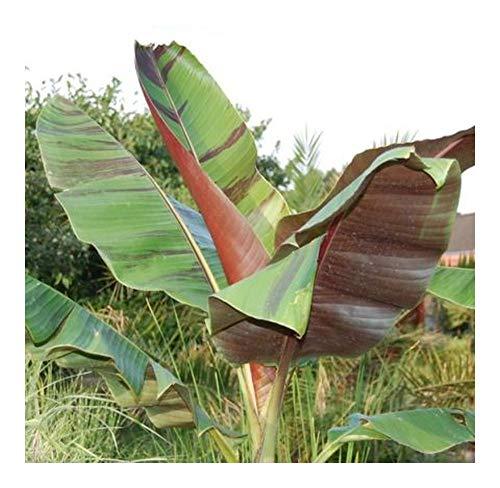 Musa sikkimensis - Darjeeling Banane - 5 Samen