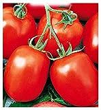 Davis tomato seeds uc 82 - légumes - lycopersicum esculenthum - environ 900 graines - les meilleures graines de plantes - fleurs - fruits rares - tomates - idée cadeau originale