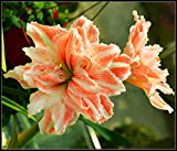 Amaryllis Birne,Amaryllis Zwiebel,Blumen,Pflanzen Sie Gärten,Schön,Seltene Pflanzen,Bodenpflanzen,Dekorativer Balkon,Attraktiv-1,1 Zwiebel