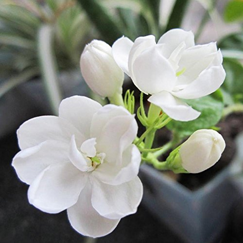 Taloyer Lot DE 20 Graines de Fleur de Jasmin d'escalade Lumière Jardin parfumé Fleur Plantes Décor