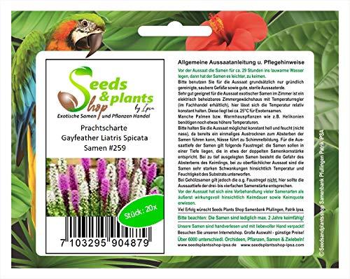 Stk - 20x Prachtscharte Gayfeather Liatris Spicata Pflanzen - Samen #259 - Seeds Plants Shop Samenbank Pfullingen Patrik Ipsa