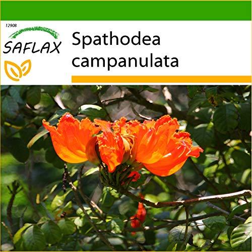 SAFLAX - Afrikanischer Tulpenbaum - 30 Samen - Mit keimfreiem Anzuchtsubstrat - Spathodea campanulata