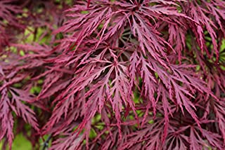 CRIMSON QUEEN WEEPING LACE LEAF JAPANESE MAPLE - Acer palmatum dissectum 'Crimson Queen' 3 - YEAR PLANT