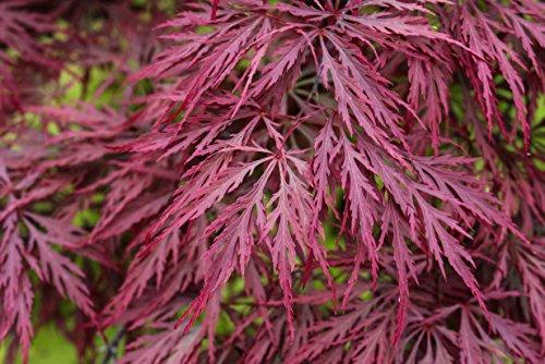 Crimson Queen Weeping LACE Leaf Japanese Maple - Acer palmatum dissectum 'Crimson Queen' 3 - Year Plant