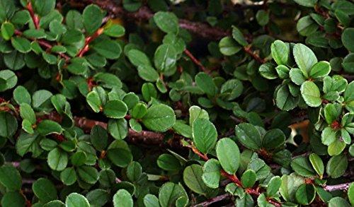 Bodendecker - Teppichmispel - Cotoneaster Dammeri Frieders Evergreen - Topf Ø 11cm (10)