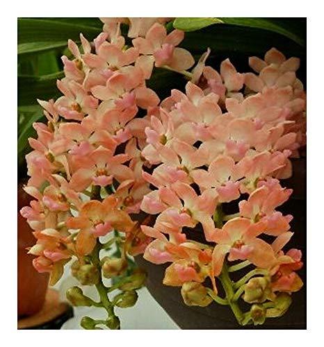 Rhynchostylis gigantea Orange - Orchidées - 100 graines