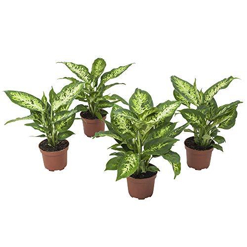 Choice of Green - Lot de 4 Dieffenbachia Compacta - Plante d'intérieur en pot de culture ? 12 cm - Hauteur ? 30 cm - Qualité hollandaise - Frais du producteur