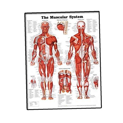 YZLSM Muskelsystem Wall Chart Naturgetreue Anatomische Plakat Lernen Muskel-anatomie-Diagramm-Aufkleber 50x70cm