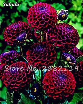20 Pcs Graines de fleurs Dahlia Chineses Charme Bonsai Fleurs Belle (pas Dahlia Bulbes) Haut Germination jardin Plante en pot 17