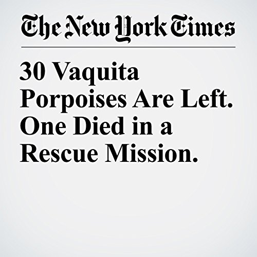30 Vaquita Porpoises Are Left. One Died in a Rescue Mission. copertina