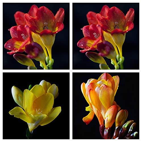 Bulbos de Fresia,Plantas Duraderas, Decoraciones, Plantas Cultivadas En Tierra,Decoración De Fiesta-2,3 Bulbos