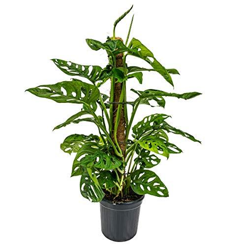 Lochpflanze | Monstera 'Monkey Leaf' Moosstab pro Stück - Zimmerpflanze im Aufzuchttopf cm17 cm - 65 cm