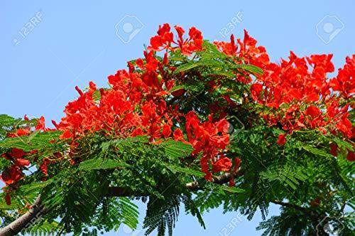 Flammenbaum (Delonix Regia) - 10 Samen - wunderschöner Baum sehr gut auch als Kübelpflanze