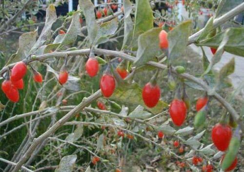 Lycium barbarum'Bacche di Goji' 3 piante in vaso ø9 cm