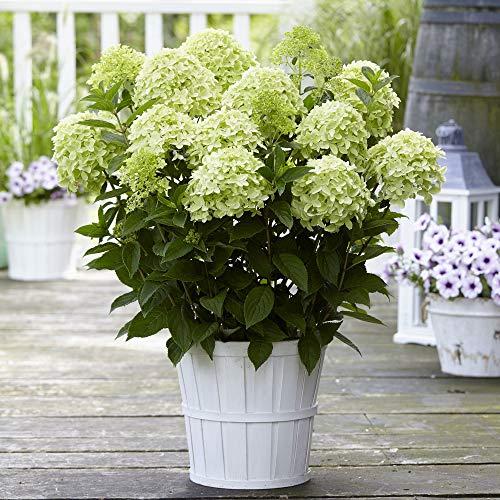 Hydrangea paniculata'Whitelight' |...