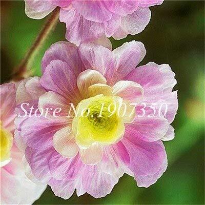 Generic Fresh 100 PCS Frische Geranienblumensamen zum Pflanzen Hellviolettgelb