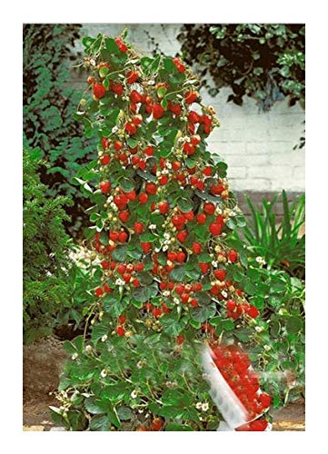 Strawberry Giant Red Climbing - Riesen Kletter-Erdbeere - 30 Samen