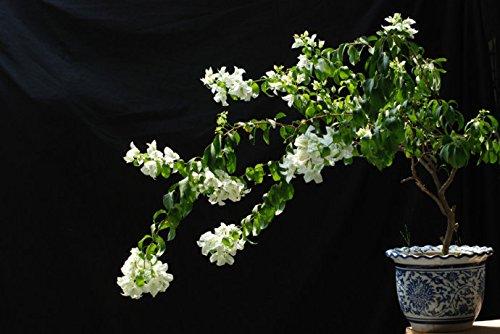 De Flores 50 Graines de nouvelles plantes de floraison réel Plantes * Graines Bougainvillea spectabilis Willd Bonsai plantes