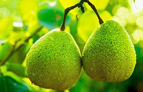 fruits de poire de qualité en gros d'or de graines de poire empochée stock adéquat du Nord et du Sud 50 graines/Pack 4