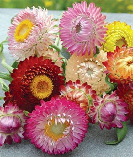 Strohblumen Prachtmischung Samen