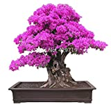 100% originale di alta qualità 10 pezzi mix-color bouganville spectabilis willd semi bonsai piante semi di fiori