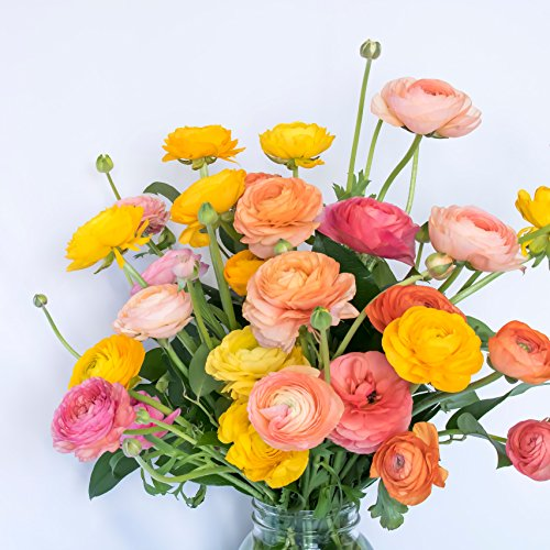 Mixed-Color Tecolote Ranunculus Rainbow Mix | Mixed-Color Blooms - 10 Extra Large Persian Buttercup Bulbs for Planting - Size 8+cm - Largest Size Commercially Available | Ships from Easy to Grow TM