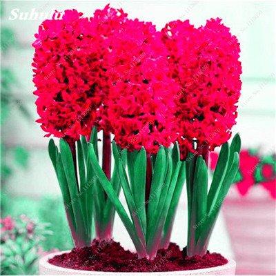 Livraison gratuite Parfum Pas Cher Graines jacinthe, plantes en pot purifient l'air, PC de bureau Décor-100 Pcs Hyacinthus Orientalis Seed 8