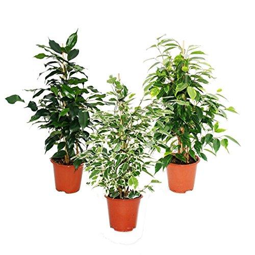 Exotenherz - Ficus benjamini - 3er Set - Danielle - Anastasia - Twighlight 12cm Topf