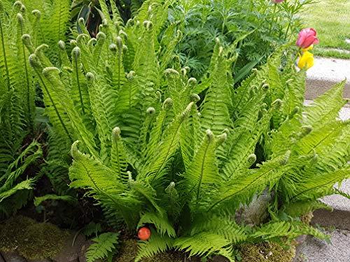 5 x Matteuccia struthiopteris (Ziergras/Gräser/Farn) Straußenfarn Trichterfarn