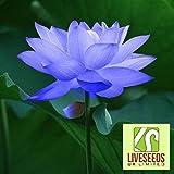 Liveseeds - Ciotola di loto / acqua giglio di fiori di semi / bonsai semi di loto / Sapphire Lotus / 5 semi freschi Coltivare Difficoltà Grado: Molto Facile Uso: Indoor / Outdoor Tipo: Piante acquatiche Funzione: purificazione dell'aria
