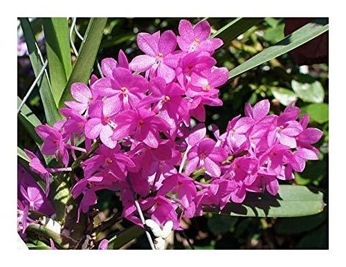 Ascocentrum ampullaceum - orchidée - 100 graines