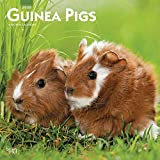 Guinea Pigs 2020 12 x 12 Inch Monthly Square Wall Calendar, Domestic Animals Small Pets