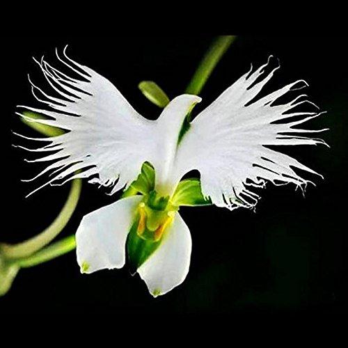 Yukio Samenhaus - 100 Stück Selten Asiatische weiße Vogelblume Samen Raritäten wie Taube Orchidee, Balkon/Terrassenpflanzen