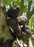 100 Gr. Truffle Black Frische - Schwarze Trüffel Black Tuber aestivum - Frische schwarze Sommertrüffel - MADE IN ITALY - TOP QUALITY Truffle Black
