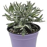 Lavandula angustifolia, Goodwin...image