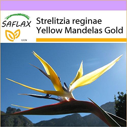 SAFLAX - Oiseau de paradis jaune - Mandelas Gold - 4 graines - Strelitzia reginae Yellow