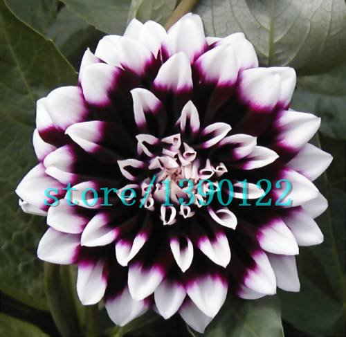 100pcs Dinner Plate rainbow Dahlia seeds, Chinese Peony bonsai flower seeds ,22 colors to choose, for home garden plantting 22