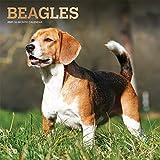 Beagles 2021 - 16-Monatskalender mit freier DogDays-App: Original BrownTrout-Kalender [Mehrsprachig] [Kalender] (Wall-Kalender)