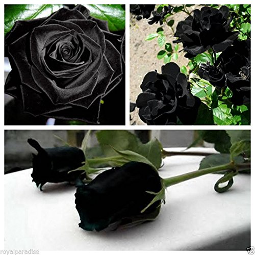 M-Tech Gardens Mall 1 Live Healthy and Cultivated Rare Black Rose Flower Plant