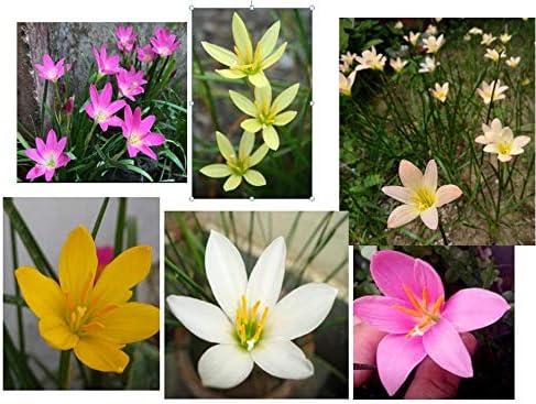 Urban Gardens Rain Lily Mixed Bulbs (A Mix Of 6 Varieties, Dark Pink, Light Pink, Yellow, White, Lemon Yellow & Apric...