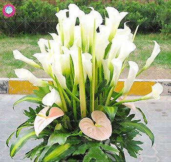2 Stück Regenbogen Calla Lilienzwiebeln Bonsai Pflanzen für Haus Farbe Innen Calla Blume Bonsai Zwiebeln mischen Pflanztopfpflanze Garten: 6