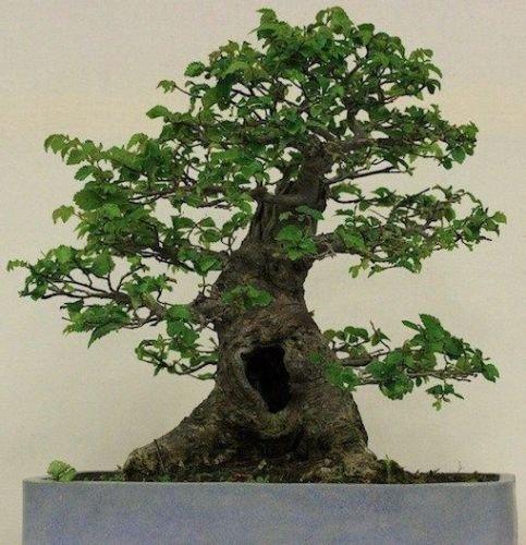 Siberian Elm (Ulmus pumila) enanos asiático Seeds Elm Tree -BONSAI- 50 +, 100 +, 250 +
