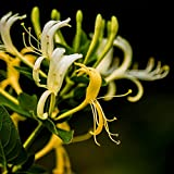 Potato001 50Pcs madreselva Semillas de hierbas fragantes flores de Plantas de jardín Bonsai Decoración