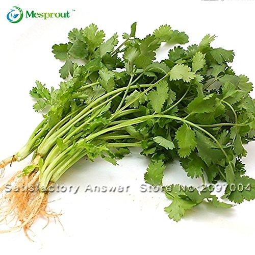 50Pcs Graine de carvi Coriandre graines persil Coriandrum sativum sain Légumes en pot Semences potagères de fournitures pour le jardinage