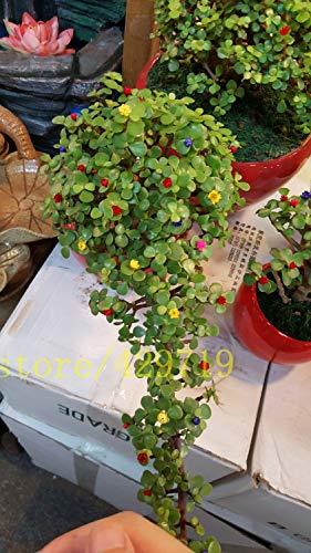 20 PC semillas del árbol de dinero semillas de mini bonsai de la planta de jardín y decoración del hogar, que dan buena suerte y riqueza