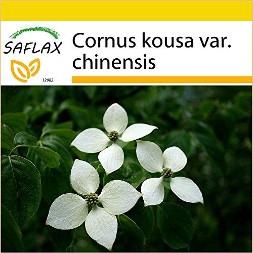 SAFLAX - Anzucht Set - Asiatischer Blüten - Hartriegel - 30 Samen - Mit Mini-Gewächshaus, Anzuchtsubstrat und 2 Töpfen - Cornus kousa