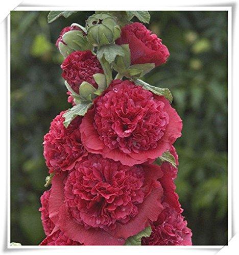 fleurs doubles trémière Graines-Alcea rosea rose, rose, rouge, jaune graines de fleurs vivaces bonsaïs pour 50seeds de plantes de jardin Accueil / sac 107