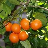 DWARF Patio Calamondin Orange Citrus Tree Perfect potted tree