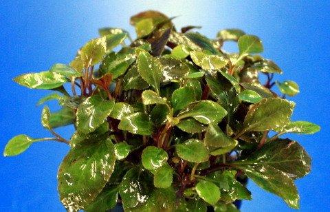 WFW wasserflora XL In-Vitro Zwerg-Kardinalslobelie/Lobelia cardinalis 'Nana'/ Mini