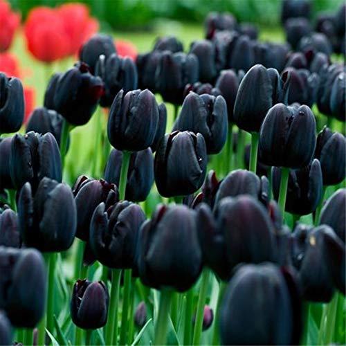 Tulipani Bulbi Un Supplemento Necessario In Giardino Lampadina Da Esterno Acquista Piante Naturali Piante Ornamentali Elegante-5 Bulbi,Nero